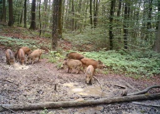 2015-06-20-wildschweine